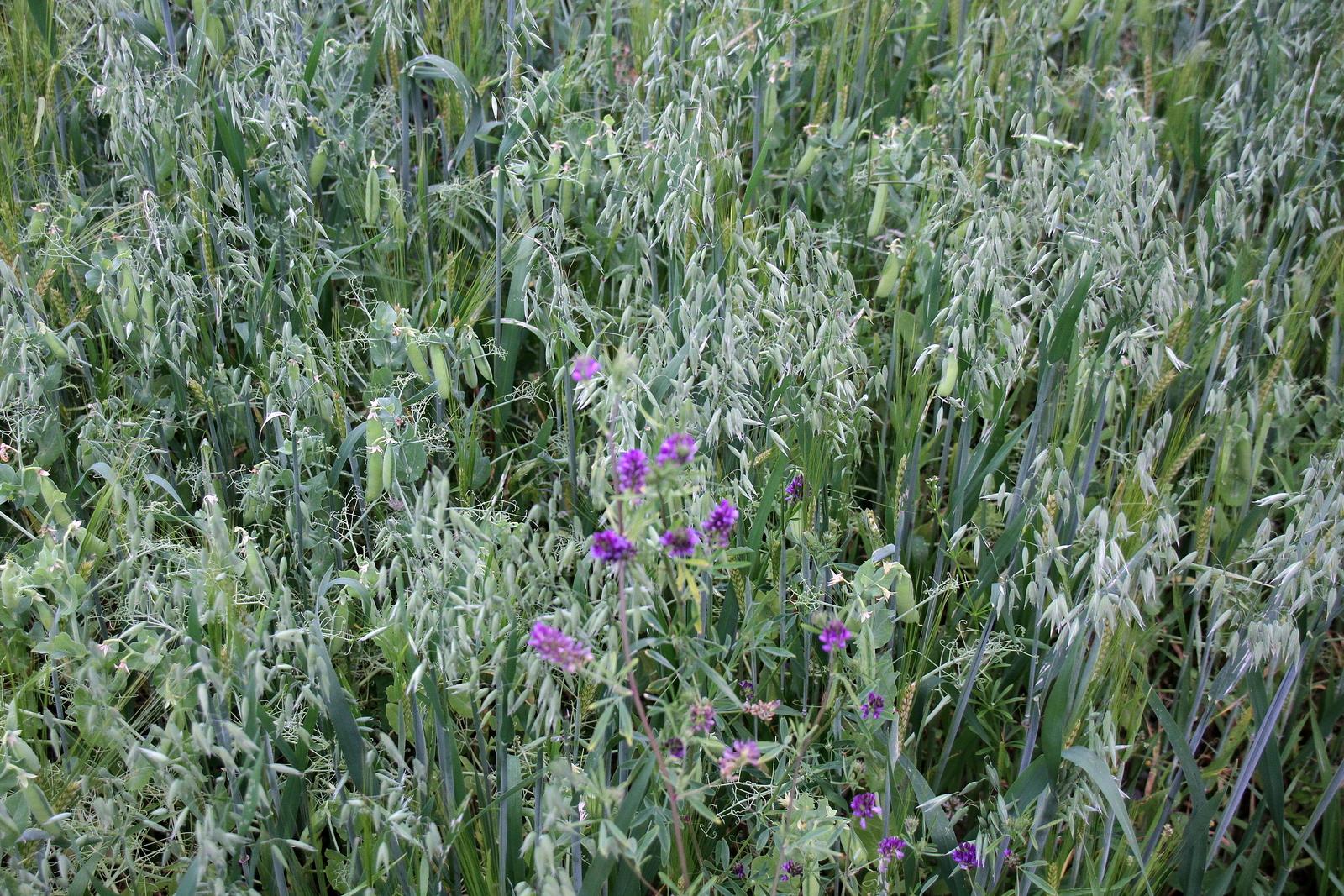 Hier wachsen drei Arten zusammen auf einem Feld, zum Wohle des Bodens und der Tiere an die sie verfüttert werden.
